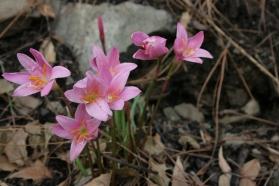 Tender flowers at Kasauli